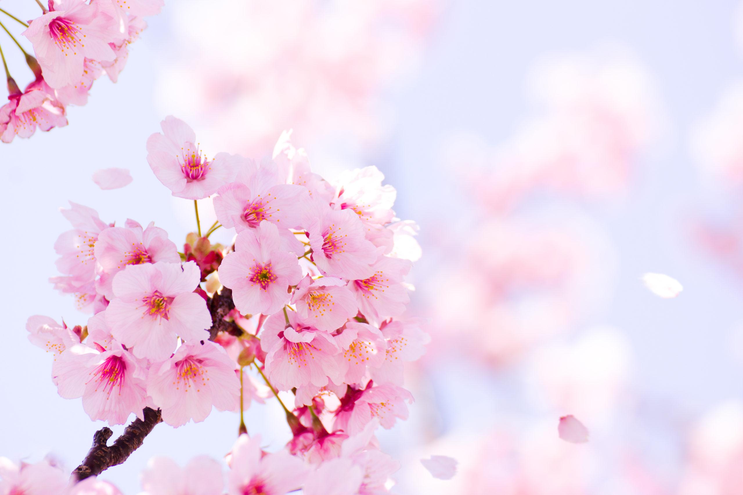桜の季節となりました